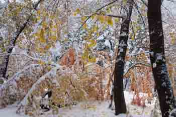 "Oak Trunks, Maples, Fall Snow On Ardis Hyde's ""Ornamentals"" Garden, Northern Sierra, California, copyright 2012 by David Leland Hyde. Nikon D90. Featured in the upcoming David Leland Hyde Sierra Portfolio."