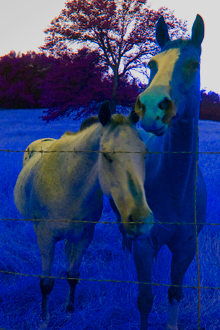 "Two Horses With Live Oak, ""Inveration,"" Sierra Foothills Near Dunlap, California, copyright 2009 David Leland Hyde."