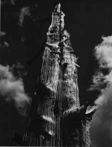 Bristlecone Pine Snag Against Sky, Tuolumne Meadows, Yosemite National Park, Sierra Nevada, copyright 1949 by Philip Hyde. 8X10 Deardorff Large Format View Camera.
