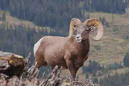 Big Horn Sheep, Rocky Mountain National Park, Colorado, copyright 2013 David Leland Hyde.